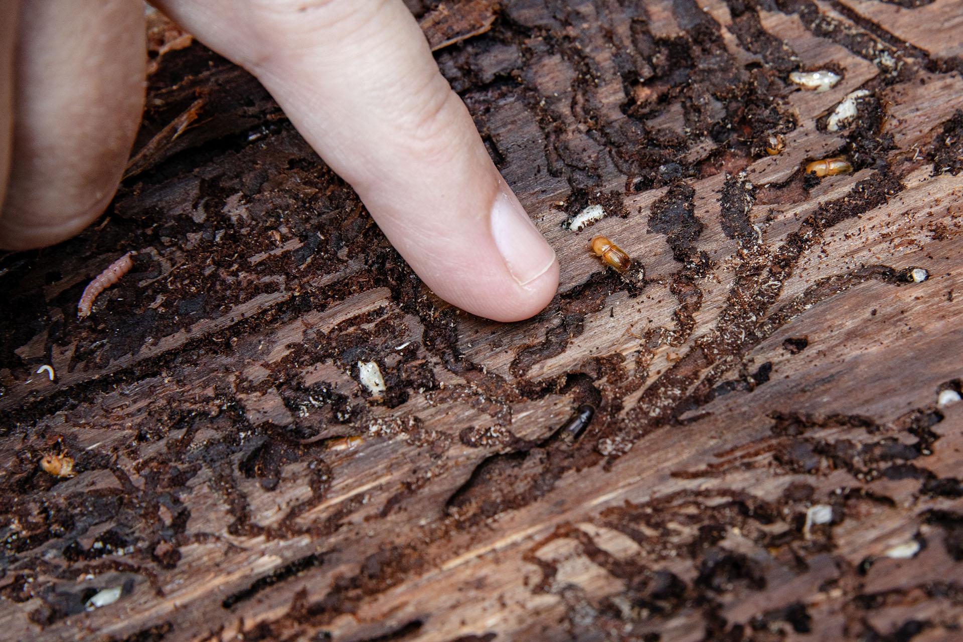Von Borkenkäfern befallenes Holz in Oberösterreich