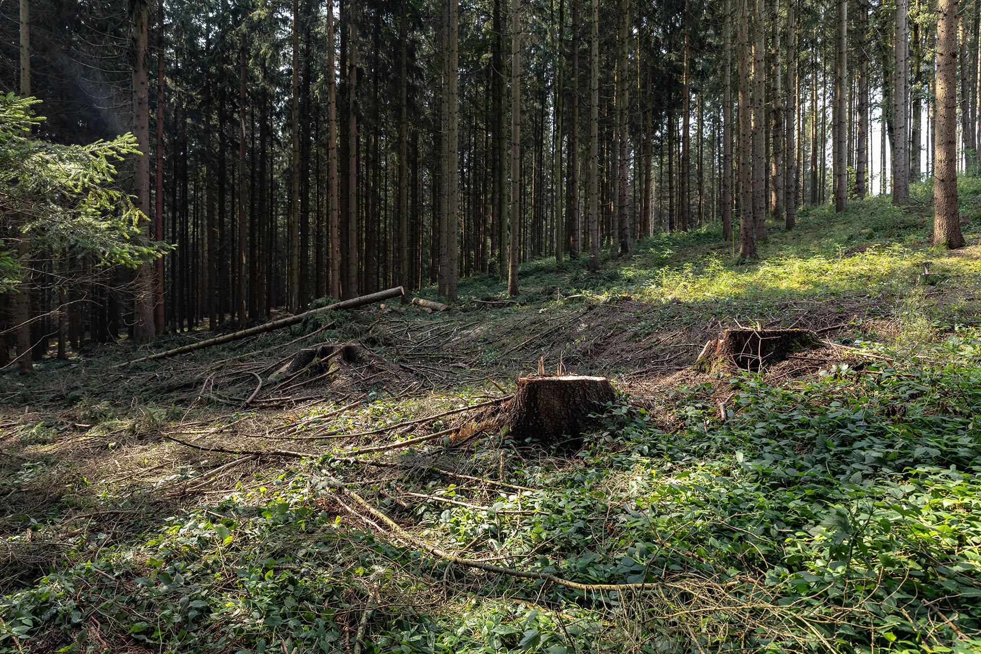 Eine Borkenkäferplage zerstört weitläufig Waldgebiete